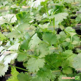 Сноуболт семена кориандра (кинзы) (Moravoseed)