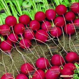 Стела (Спарта) семена редиса 30-32 дн. (Moravoseed)