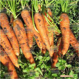 Ступицкая семена моркови Нантес ранней 93-98 дн (Moravoseed)