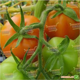 Златава семена томата индет. оранжевого (Moravoseed)