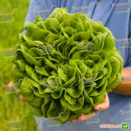 Аквино семена салата тип Саланова зел. дражированные (Rijk Zwaan)