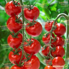 Аморозо F1 семена томата индет. кокт. раннего 95-105 дн. окр. 35 гр. (Rijk Zwaan) ПОД ЗАКАЗ