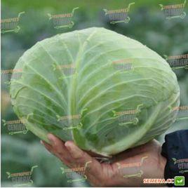 Джинтама F1 (калибр.) семена капусты б/к средней 90-110 дн. 2,5-4 кг окр-прип. (Rijk Zwaan)