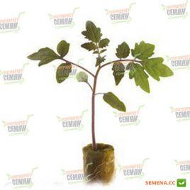 Эмперадор F1 семена подвоя для томата и баклажана (Rijk Zwaan)