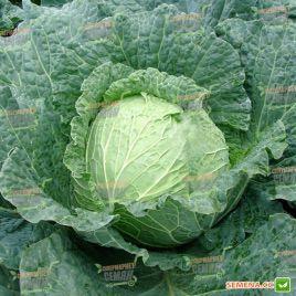 Эстрема F1 семена капусты савойской ранней до 4 кг (Rijk Zwaan)