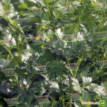Фелиция семена петрушки листовой (Rijk Zwaan)