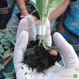 Ферро F1 семена подвоя для огурцов дынь арбузов (Rijk Zwaan)