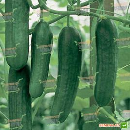 Яни F1 семена огурца раннего партенокарп. 21-24 см (Rijk Zwaan)