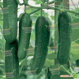 Яни F1 семена огурца раннего партенокарп. раннего 40-45 дн. 21-24 см (Rijk Zwaan)