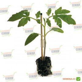 Кайзер F1 семена подвоя для томата и баклажана (Rijk Zwaan)