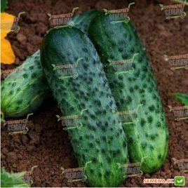 семена огурца караоке f1