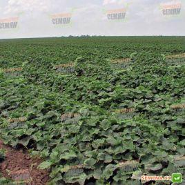 Караоке F1 семена огурца партенокарп. среднеранн. 8-10 см (Rijk Zwaan)