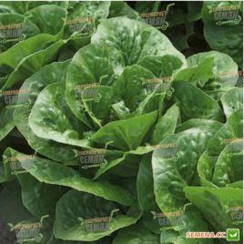 Клаудиус семена салата тип Ромэн зел. дражированные (Rijk Zwaan)