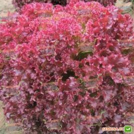 Констанс семена салата тип Лолло Росса (Rijk Zwaan) СНЯТО С ПРОИЗВОДСТВА