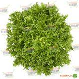 Корби семена салатного цикория тип Эндивий темно-зел. дражированные (Rijk Zwaan)