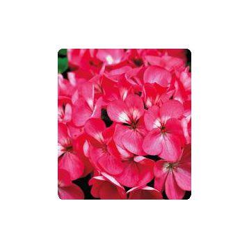 Герань (пеларгония) Салют Rose