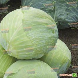 Муксума F1 семена капусты б/к поздней 135-140 дн. 2,5-4 кг (Rijk Zwaan)