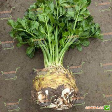 Президент семена сельдерея корневого (Rijk Zwaan)