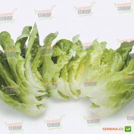 Рафаэл (Рафаэль) семена салата тип Ромэн зел. дражированные (Rijk Zwaan)