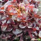 салат дуболистный руксай