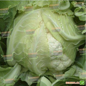 Сантамария F1 семена капусты цветной (Rijk Zwaan)