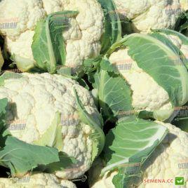 Сантамария F1 семена капусты цветной средней 75-95 дн. 1,5-2,5 кг бел. (Rijk Zwaan)
