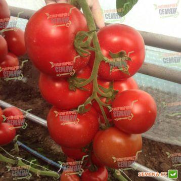 Зульфия F1 семена томата (Rijk Zwaan)