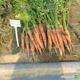 Аттилио F1 семена моркови Нантес (Vilmorin)