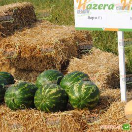 Варда F1 семена арбуза тип Кримсон Свит (Hazera)