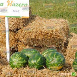 Васко F1 семена арбуза тип Кримсон Свит (Hazera)