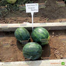 Экстази F1 семена арбуза бессемянного тип Мини среднераннего 75-80 дней 1,5-2 кг окр. (Hazera)