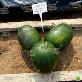 Лахат F1 семена арбуза тип Шуга Бейби ранний 65-70 дней 10-12 кг (Hazera)