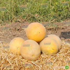 Нево F1 семена дыни тип Ананас суперранней 50-55 дн. 2-3 кг овал. (Hazera)