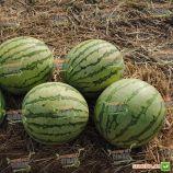 Ортал F1 семена арбуза бессемянного среднего 70-75 дней 4-8 кг окр. (Hazera)