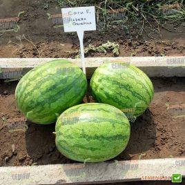 Саги F1 семена арбуза бессемянного среднераннего 70-75 дней 9-11 кг овал. (Hazera)
