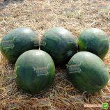 Сандей Спешл F1 семена арбуза бессемянного тип Шуга Бейби (Hazera)