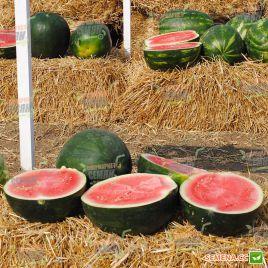 Сандей Спешл F1 семена арбуза бессемянного тип Шуга Бейби раннего 70 дн. 7-8 кг окр. (Hazera)