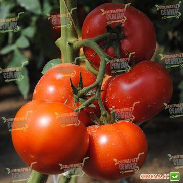 Аламина F1 семена томата индет. раннего 105-115 дн. окр. 170-190 г красный (Rijk Zwaan)
