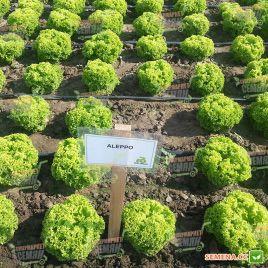 Алеппо (Алепо) семена салата тип Лолло Бионда дражированные (Rijk Zwaan)