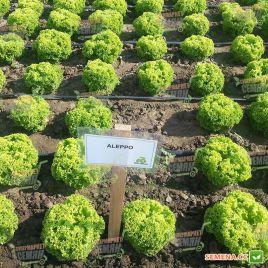 Алеппо семена салата тип Лолла Бионда дражированные (Rijk Zwaan)