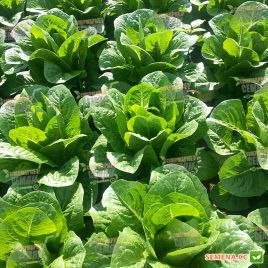 салат ромэн авона