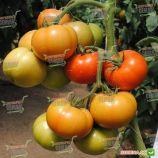 Васанта F1 насіння томату напівіндет. раннього 180-210 гр. (Rijk Zwaan)