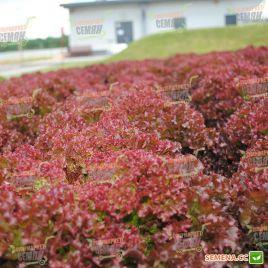 Вилбур семена салата тип Лолло Росса дражированные (Rijk Zwaan)