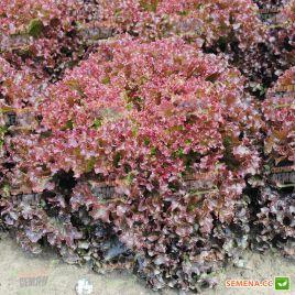 Вилбур семена салата тип Лолло Росса красн. дражированные (Rijk Zwaan)