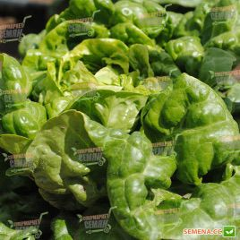 Джиска семена салата тип Маслянистый дражированные (Rijk Zwaan)