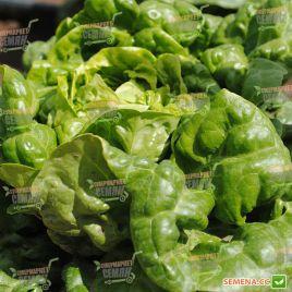 Джиска семена салата тип Маслянистый зел. дражированные (Rijk Zwaan)