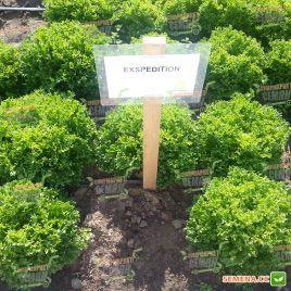 Экспедишн семена салата тип Саланова зел. дражированные (Rijk Zwaan)