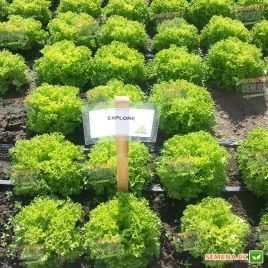 Эксплор семена салата тип Саланова зел. дражированные (Rijk Zwaan)