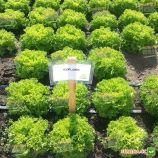 Эксплор семена салата тип Саланова/Фризе зел. дражированные (Rijk Zwaan)