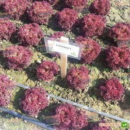 Кавернет семена салата тип Лолло Росса дражированные (Rijk Zwaan)